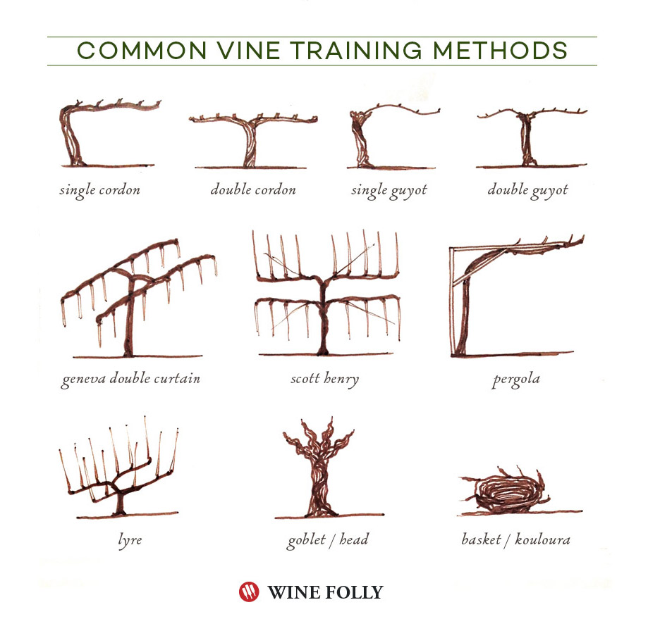 Illustrated Grape Vine Training Methods Wine Folly