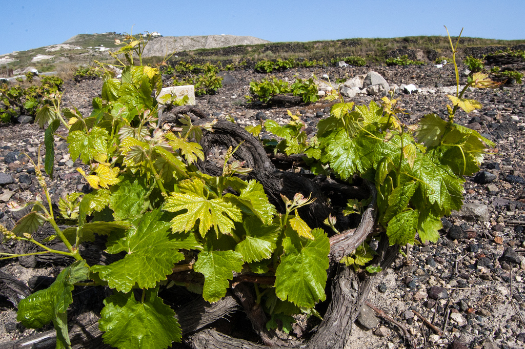 Greece wine Santorini Vines Assyrtiko