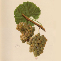 Gringet Wine Grape of Savoie