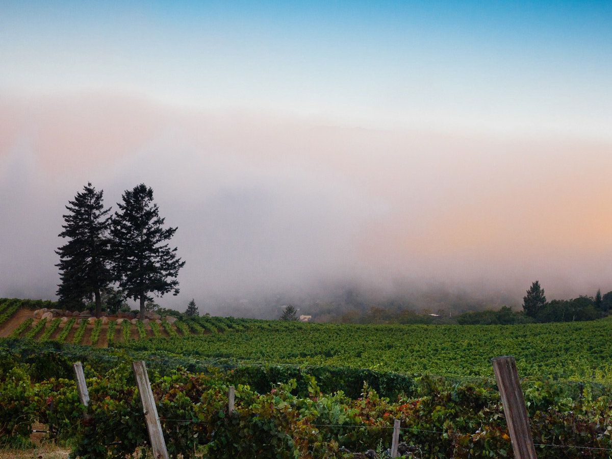 A view looking over Hanzell Vineyards in Sonoma Valley towards the morning fog during harvest