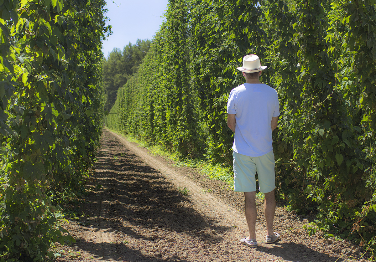 Hop farm on Wheatland Rd., in Oregon