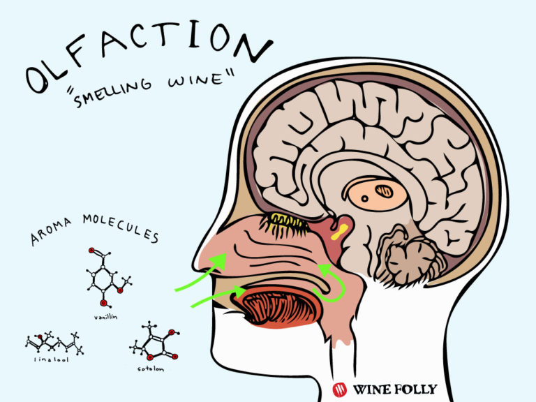 brain how we smell illustration wine folly