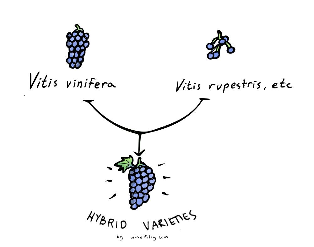 Hybrid wine varieties