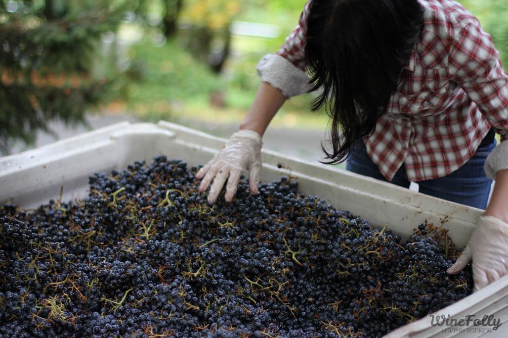 Madeline Puckette sorts Klipsum Vineyards grapes at JM Cellars