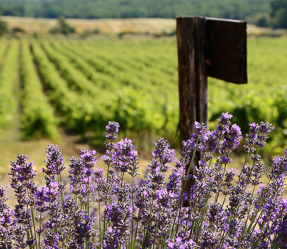 Lavender and Vineyards in Provence Wine Region