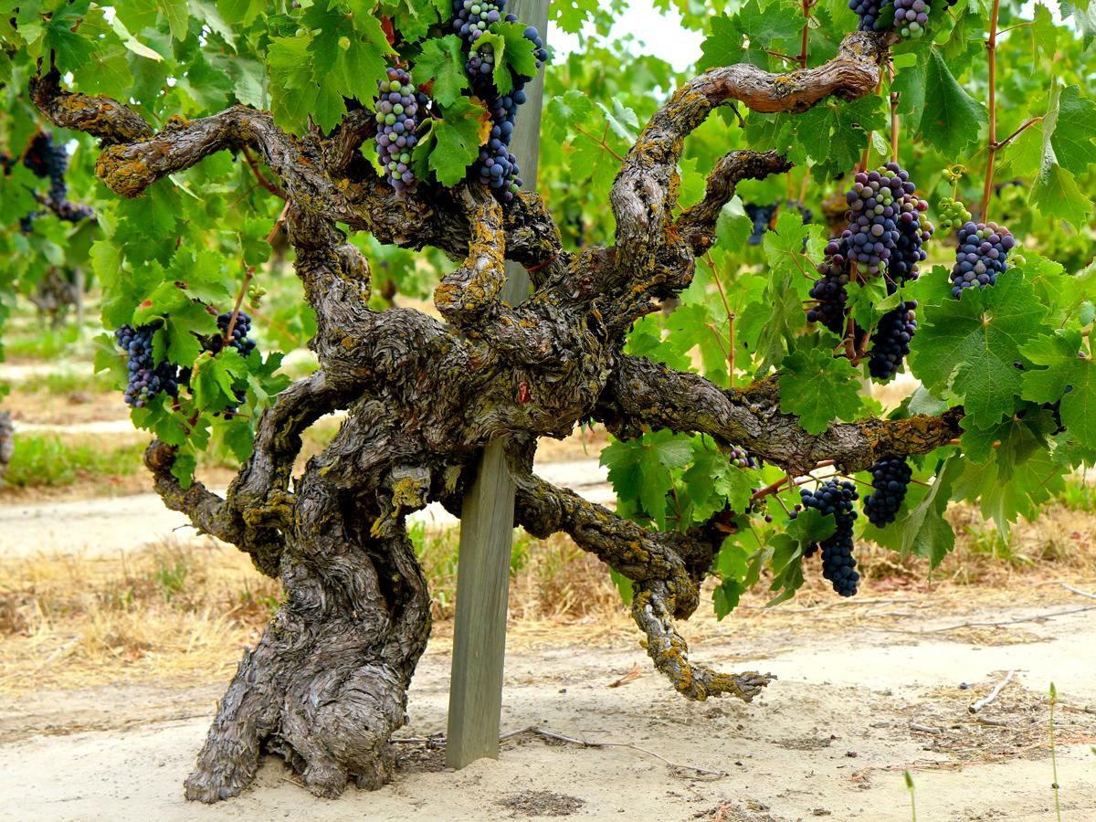 lodi-old-vine-zinfandel-marians-vineyard-mohr-fry-mokelumne