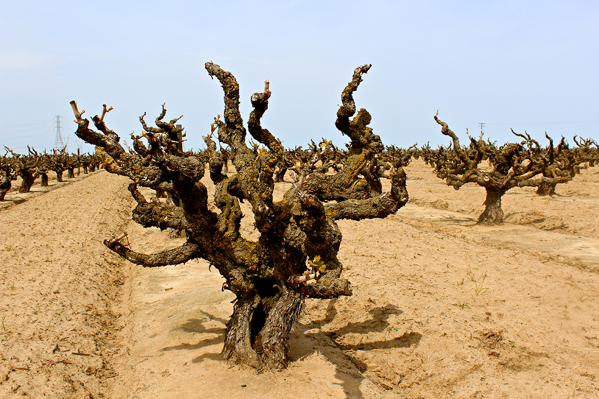 Soucie Vineyard, planted in 1916 in the super-sandy loam soil of Lodi's Mokelumne River AVA