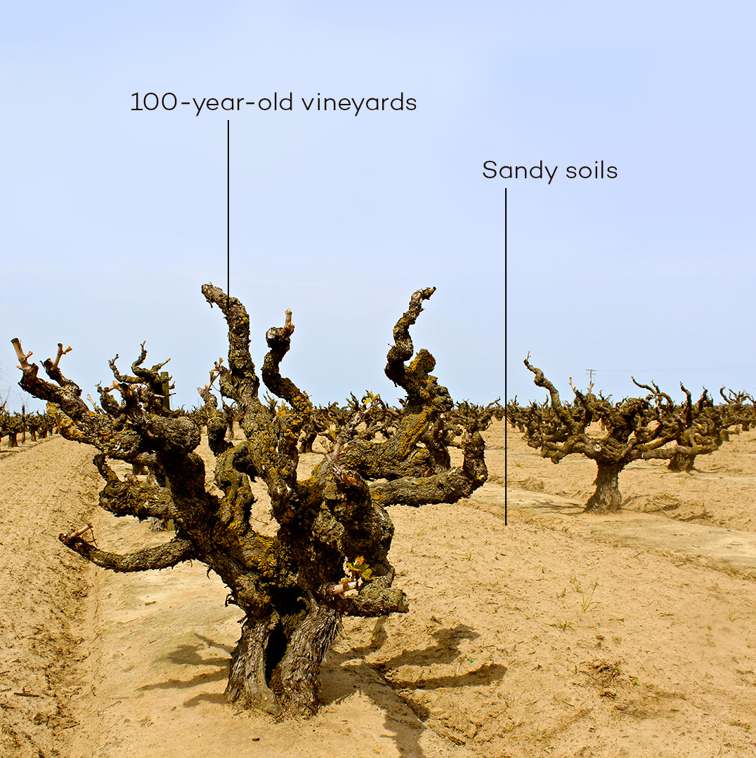 Soucie Vineyard, planted in 1916 in the super-sandy loam soil of Lodi Mokelumne River AVA