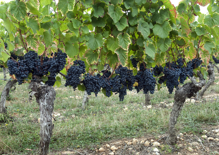 malbec-grapes-in-cahors-france