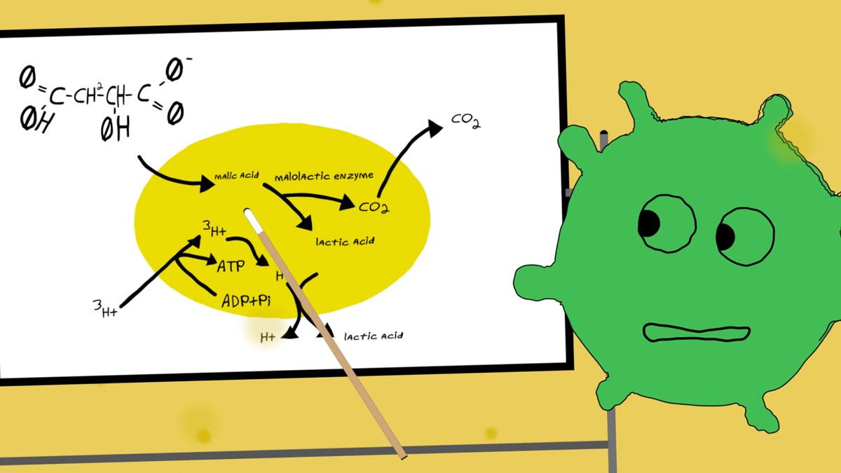 malolactic-fermentation-process