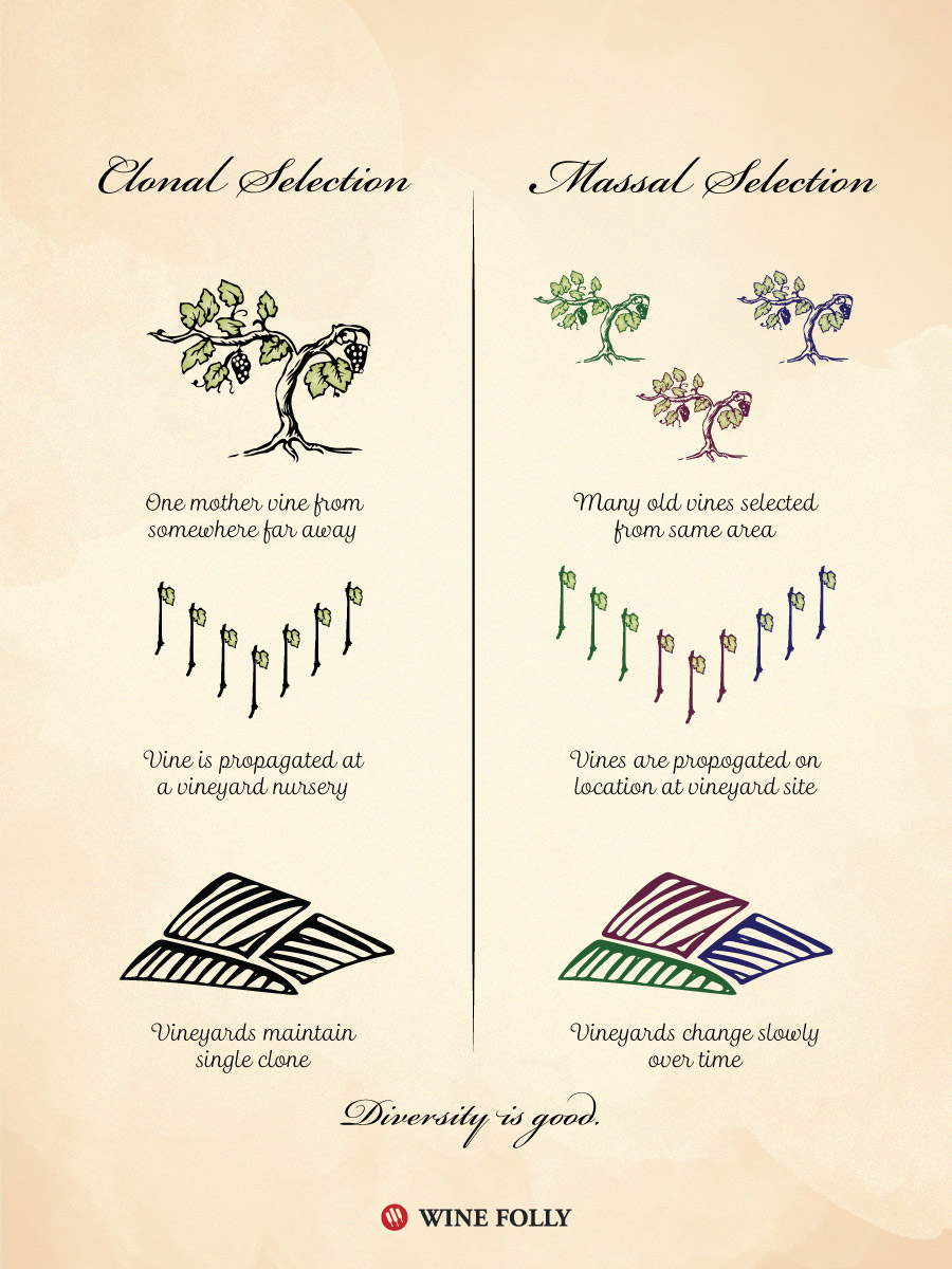 Selection Massale aka Massal Selection vs Clonal Selection in Vineyards