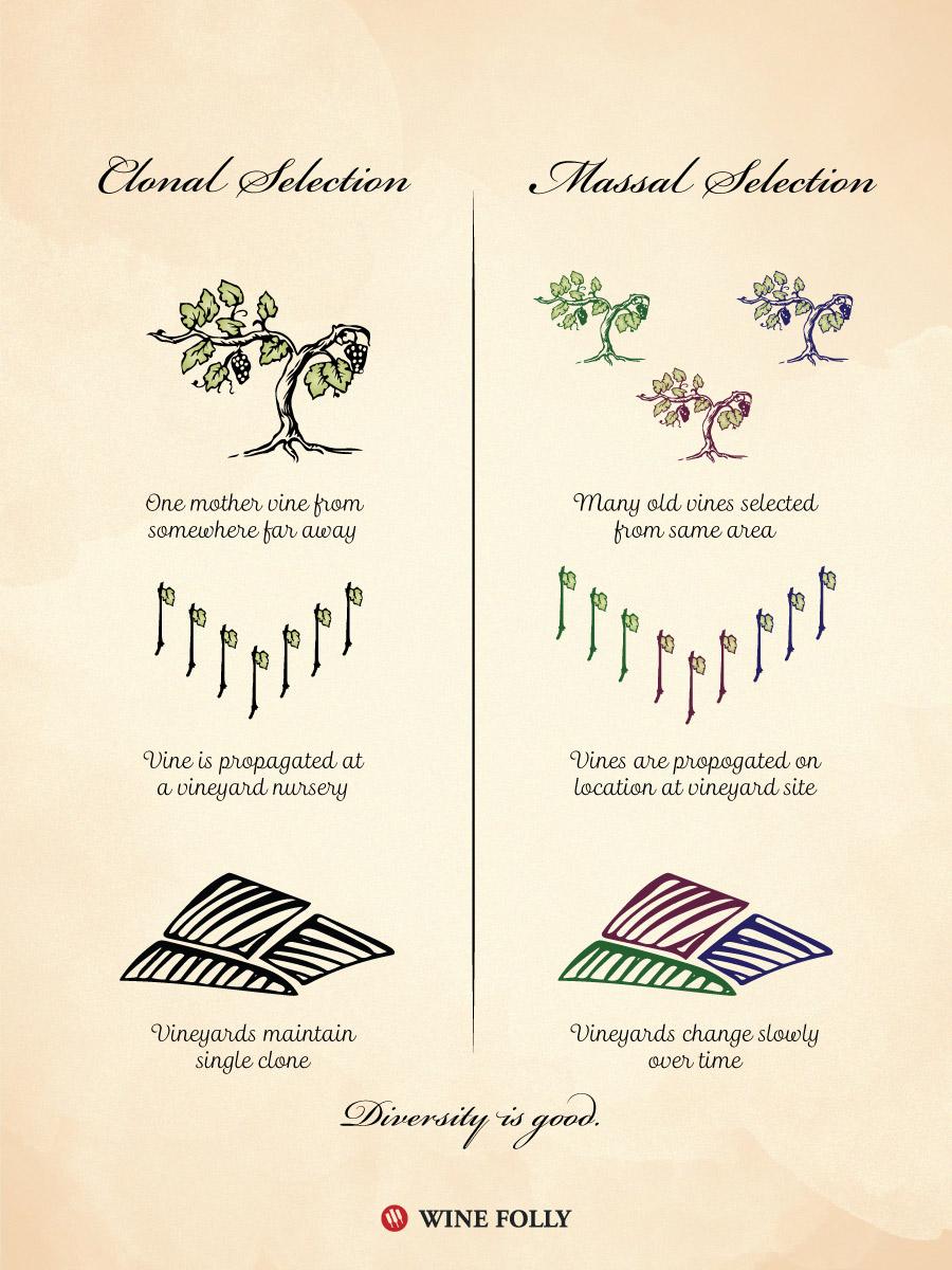 Selection Massale aka Massal Selection vs Clonal Selection in Vineyards