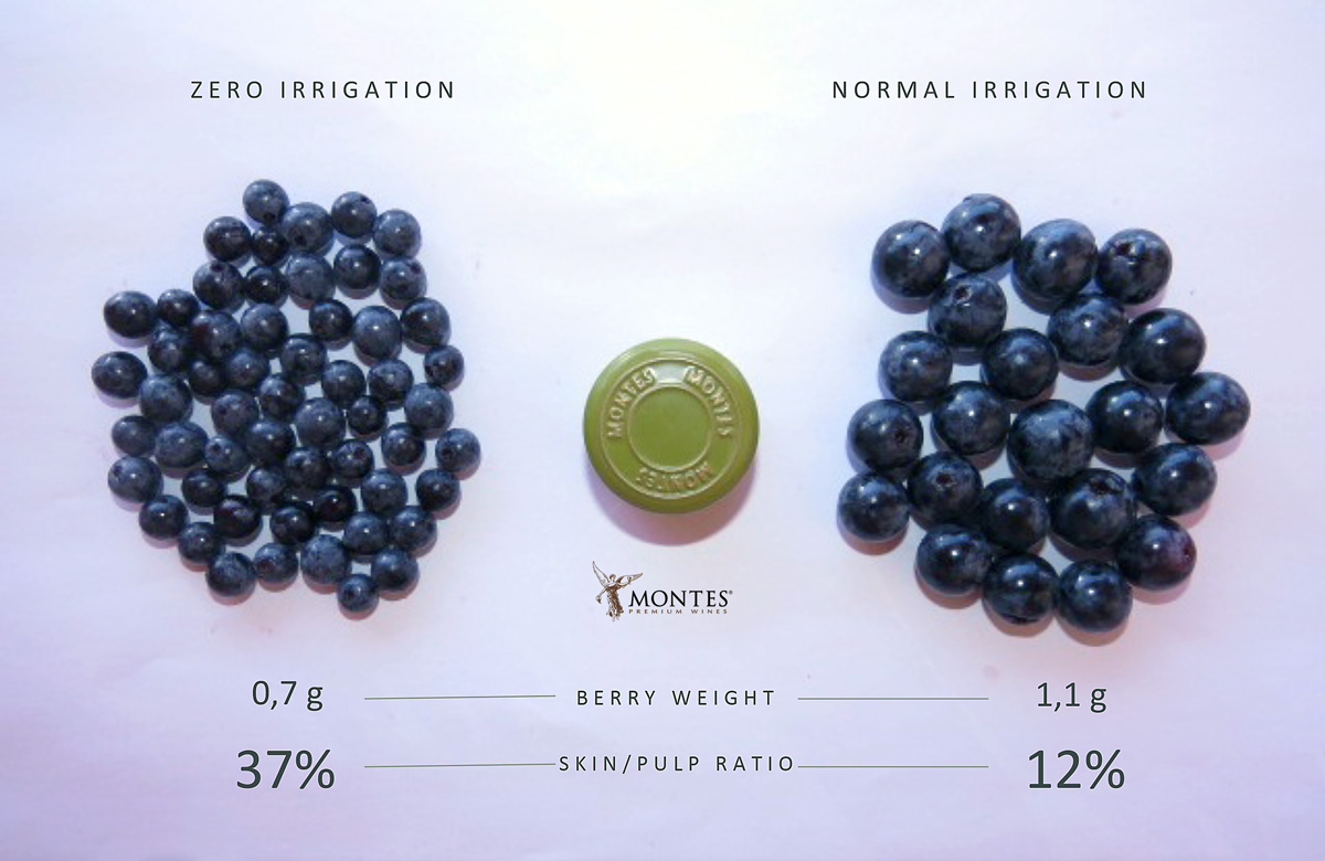 Montes Dry Farming Berry Size Comparison wine grapes Chile
