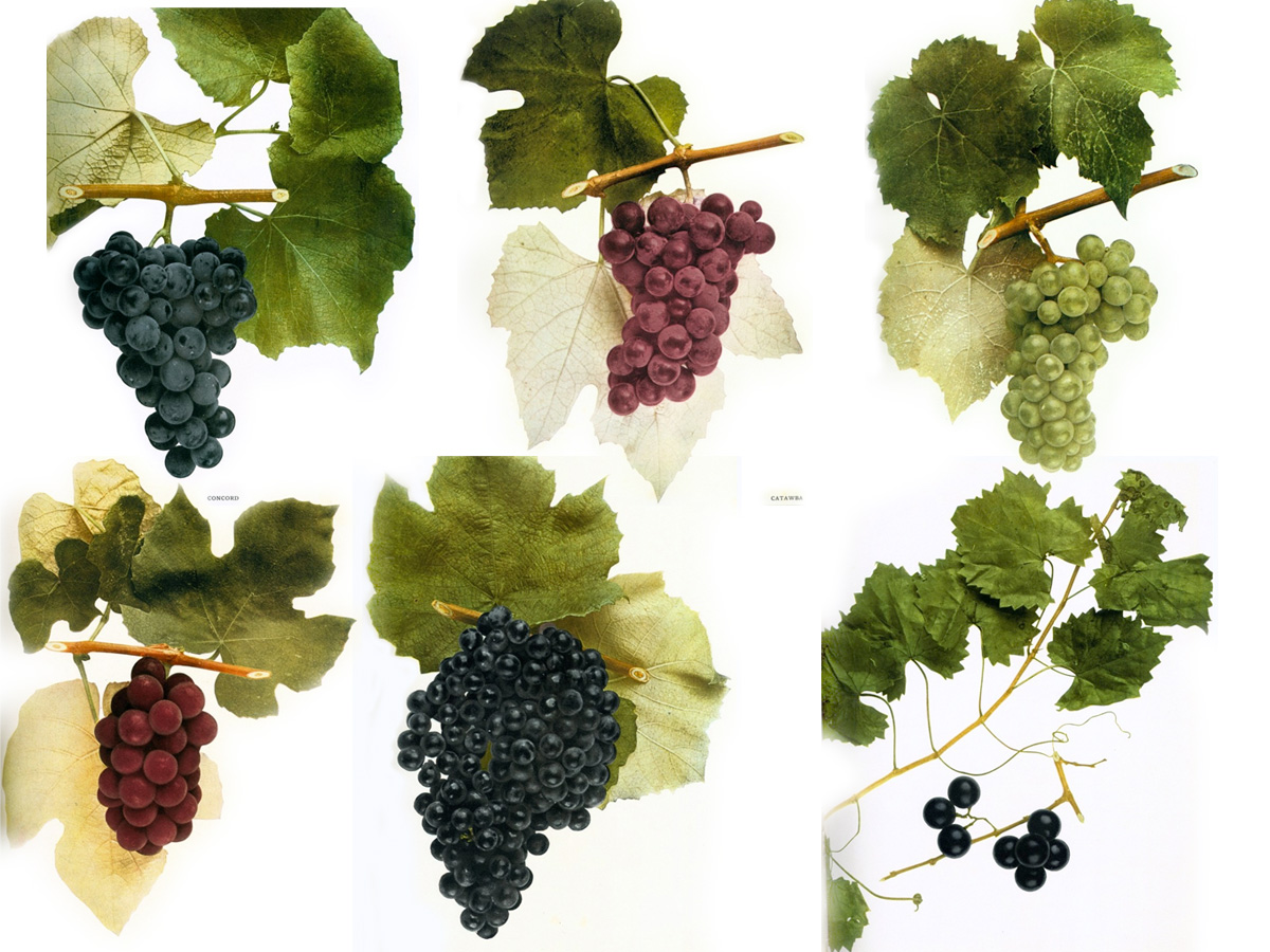 native-wine-grapes-america