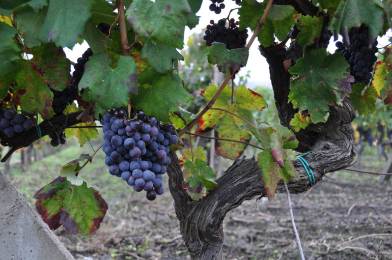 nerello-mascalese-grapes-vine-paul-asman-jill