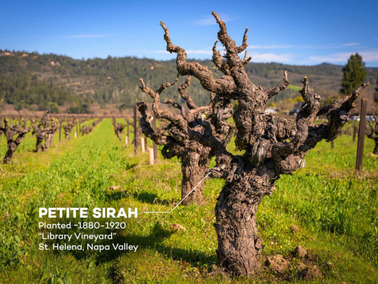 head - goblet pruned old vines - library vineyard petite syrah napa valley