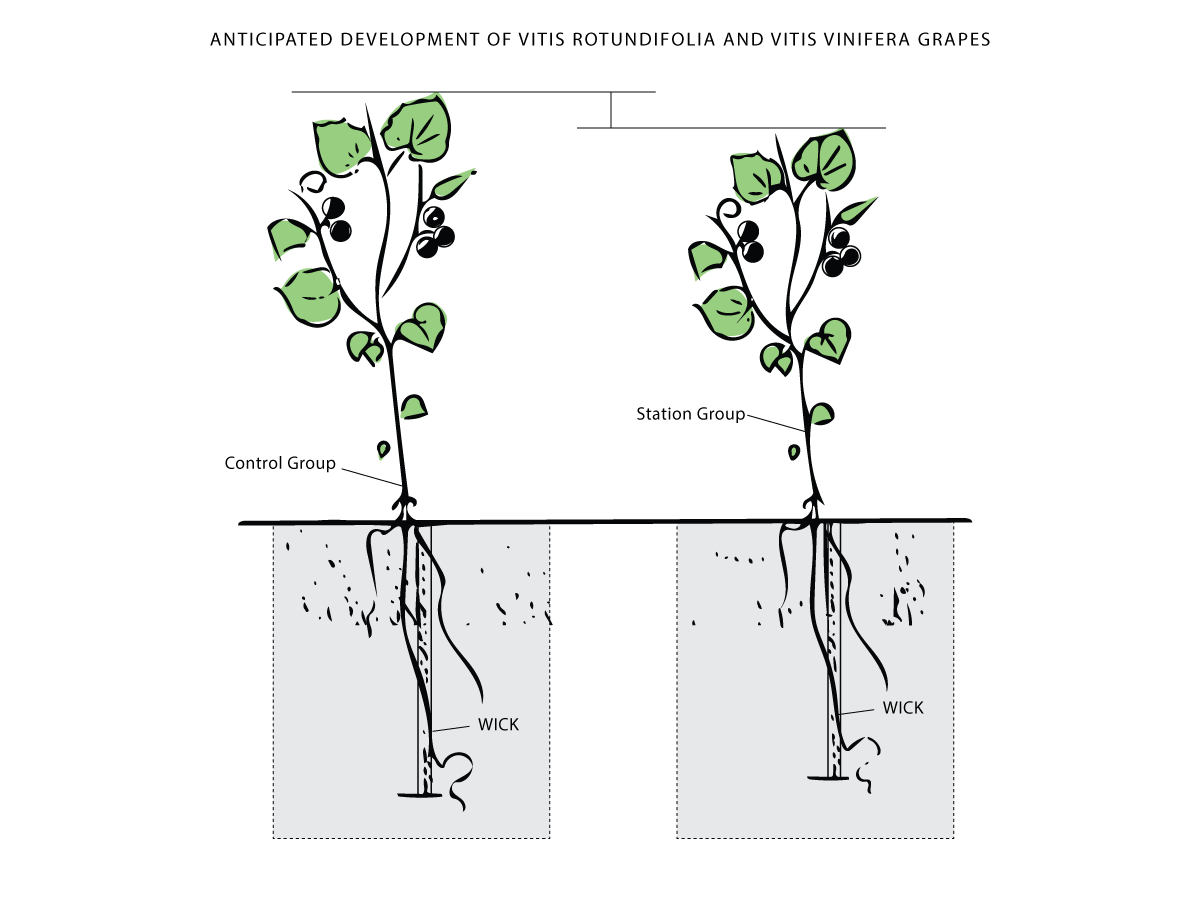 A researcher's illustration of grape growth. earth vs space  source