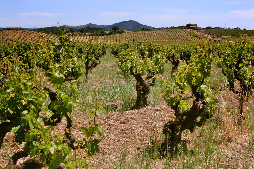 petite-sirah-old-vines-ridge-lytton-spring-vineyard-sonoma