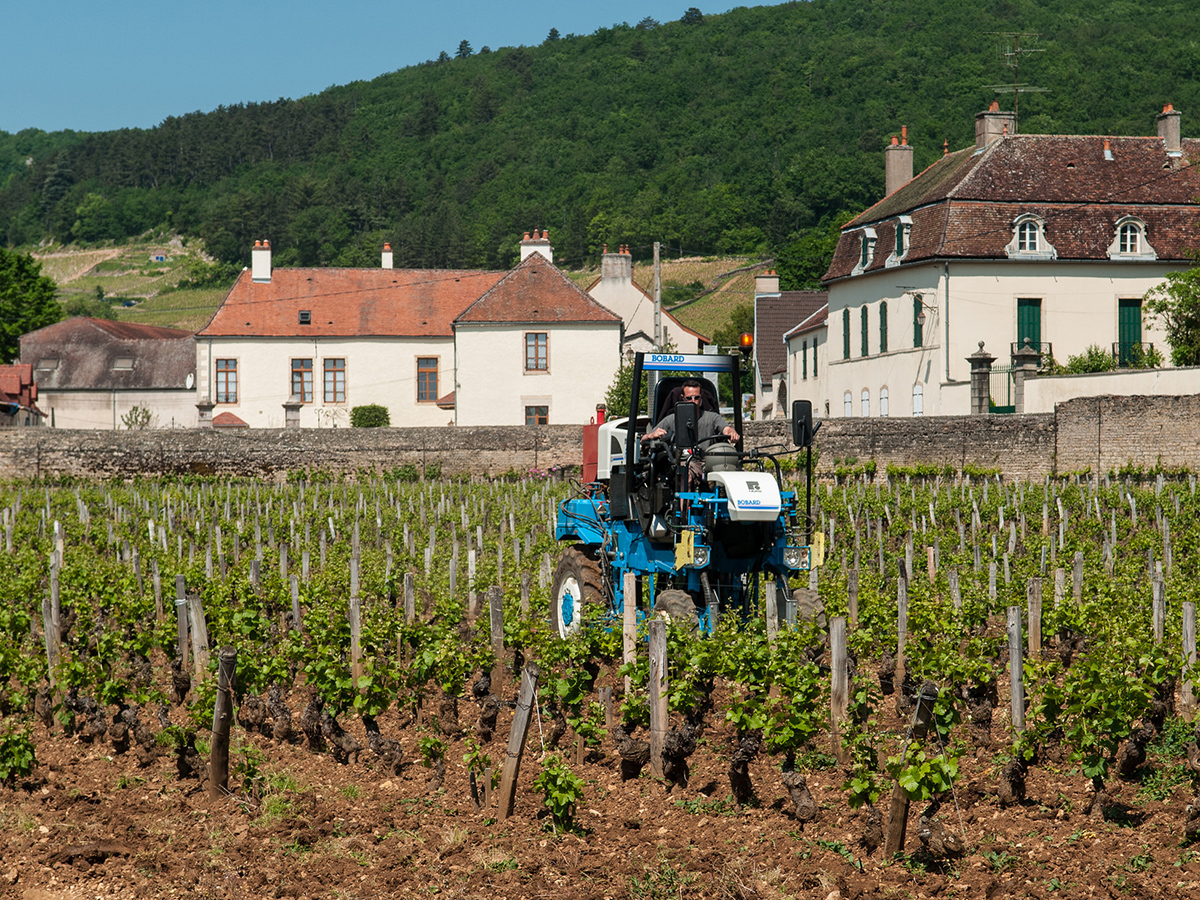 Pinot Noir Vineyards in Burgundy, France close to Gevrey-Chambertin in Côte d'Or with Marl (limestone-clay) soils.