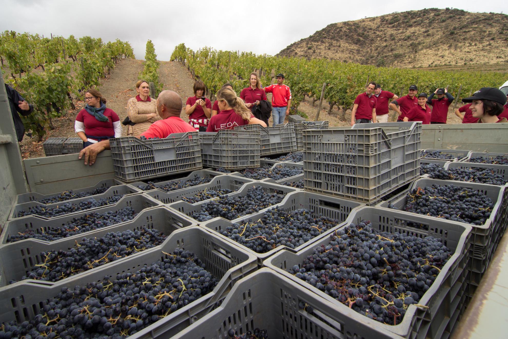 Portugal Vineyard Harvest Quinta de Leda