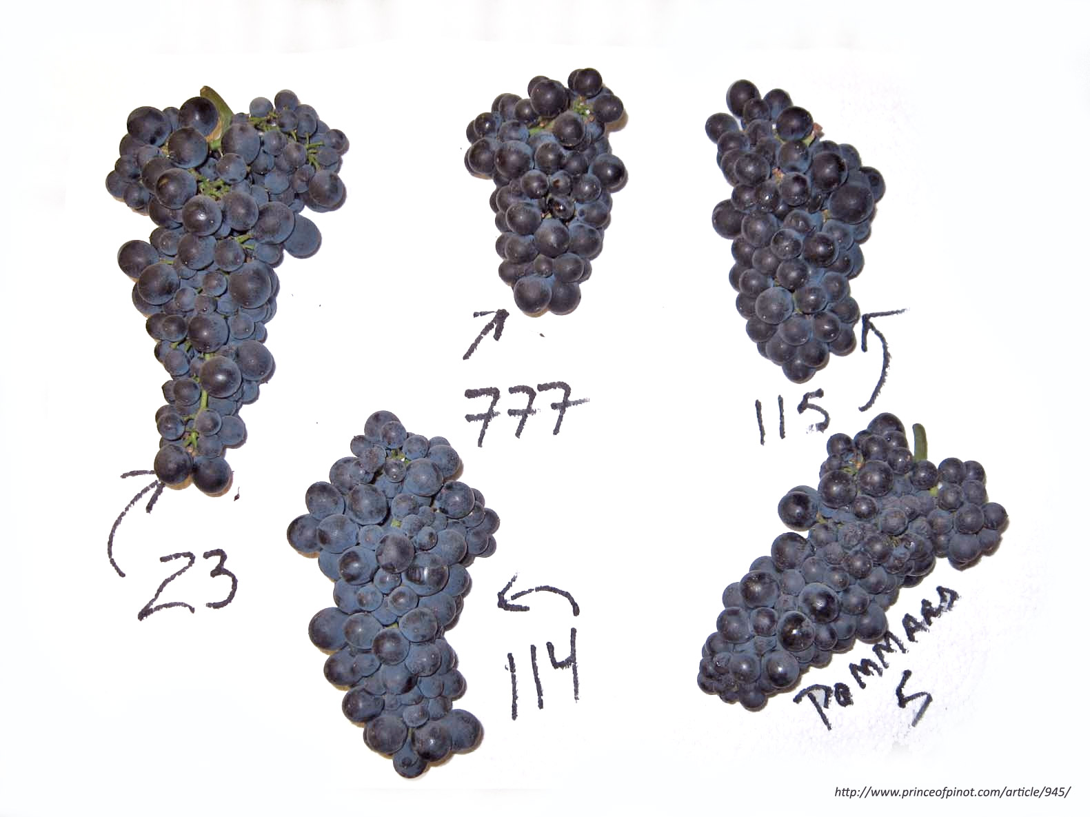 Different Pinot Noir Clones by princeofpinot