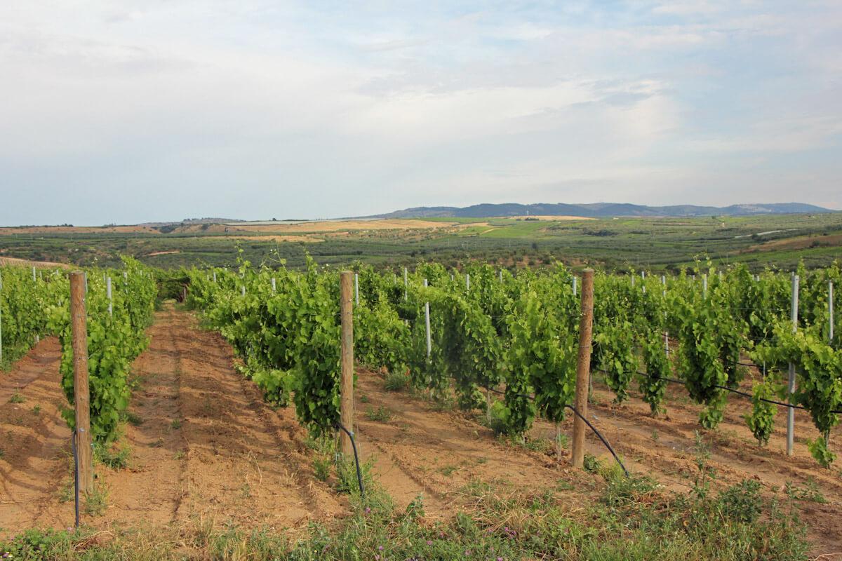 A vineyard near Canosa di Puglia.