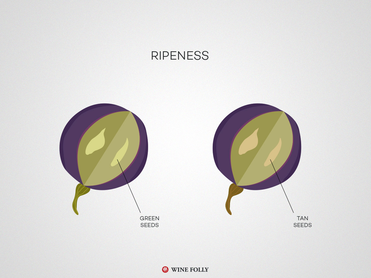 ripeness-in-wine-grapes