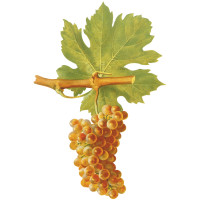 Roussanne Wine Grape of the Rhone Valley
