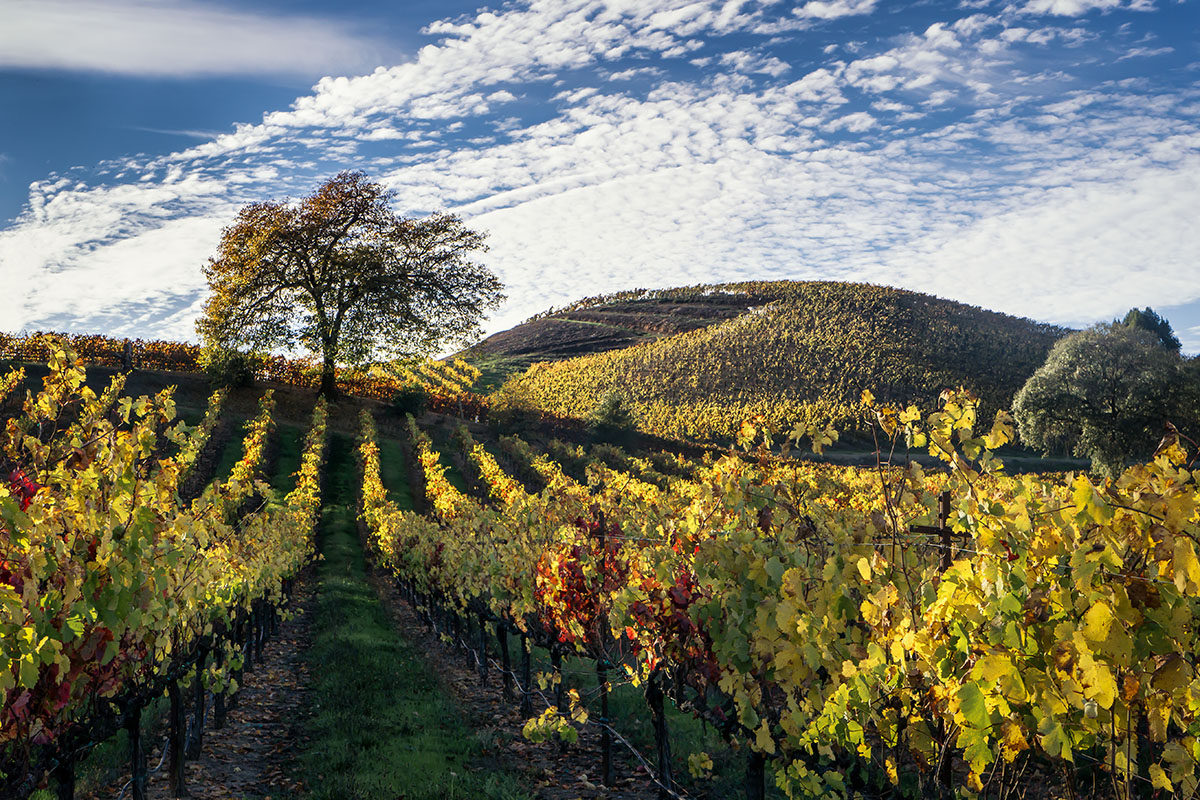 A vineyard in the Russian River Valley of California during autumn.