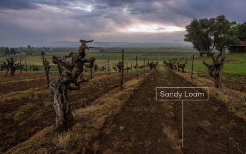Old vine Zinfandel on sandy loam soils in Russian River Valley by Justin Kern