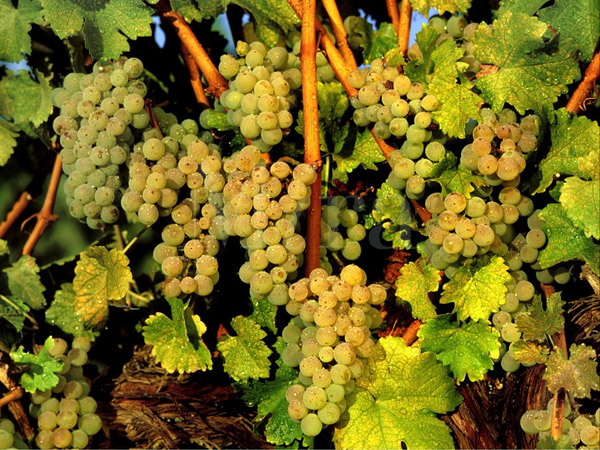 Sauvignon blanc has looser clusters than Chardonnay