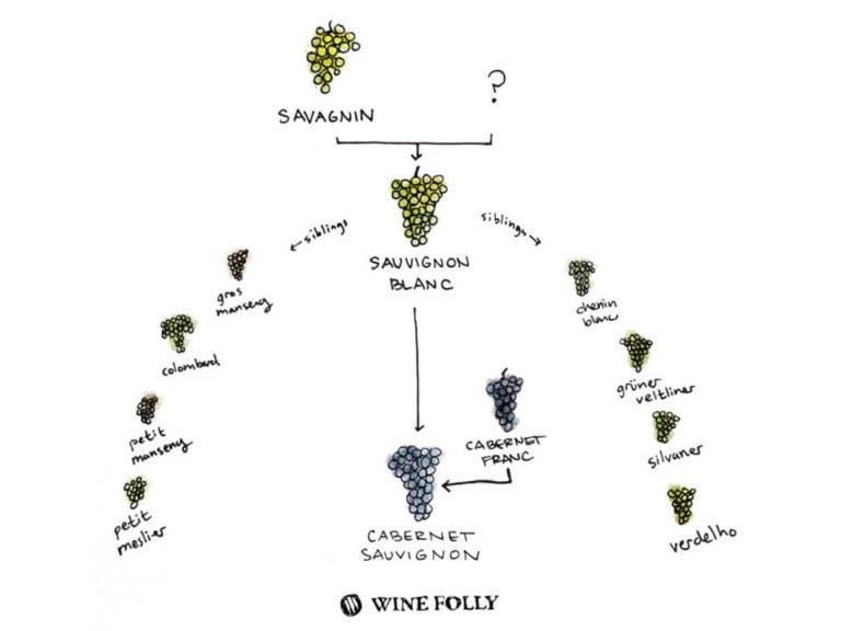 sauvignon-blanc-family-tree-illustration-winefolly