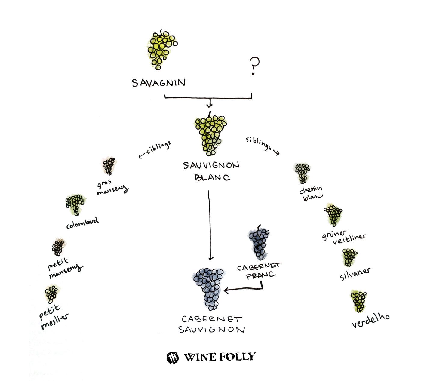 Sauvignon Blanc family tree by Wine Folly