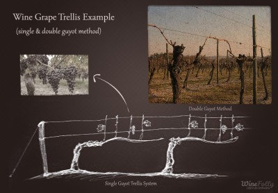 single-and-double-guyot-trellis-method-wine-grape-trellis