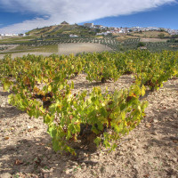 special albariza soil andalucia Sherry Vineyards Spain Chris Juden