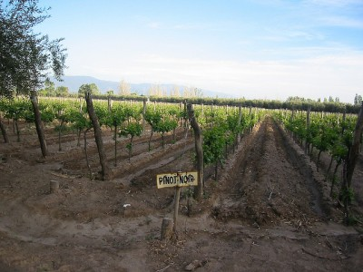 pinot noir vineyards in Argentina at Tapiz