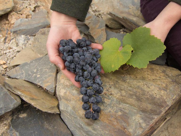 touriga-nacional-portuguese-wine-grapes-schist-madeline-puckette