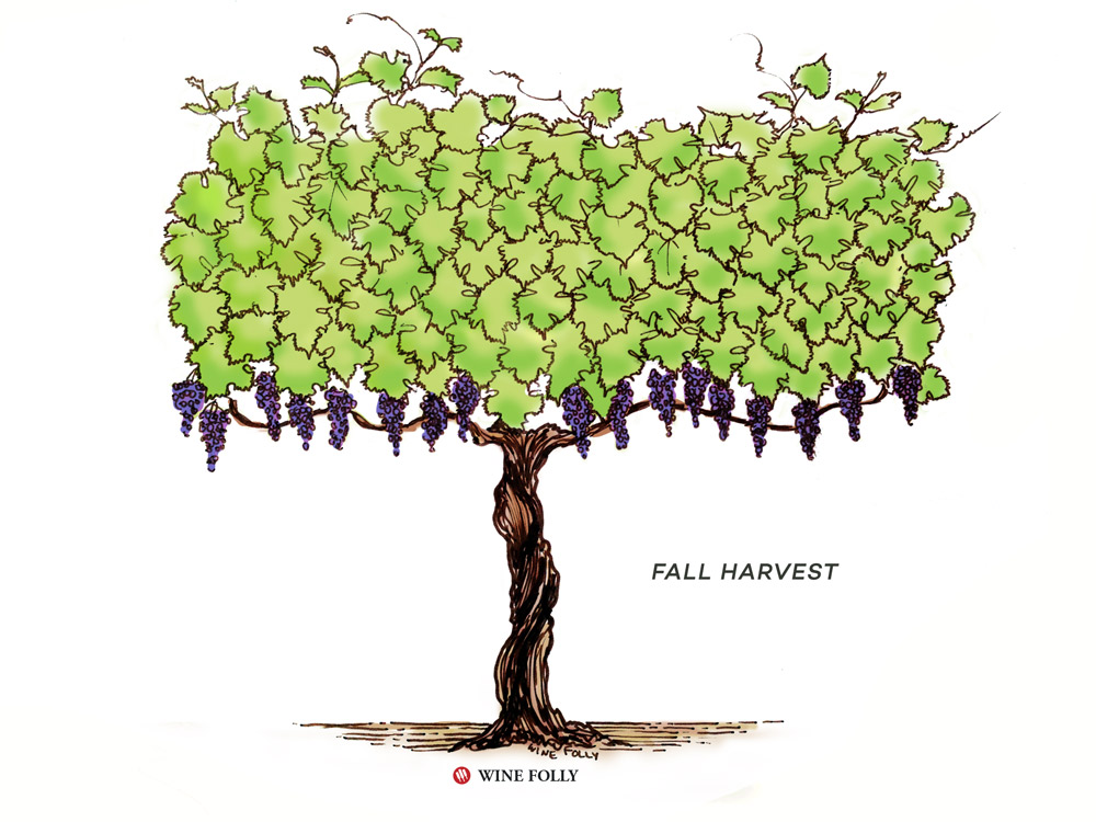 vine-lifecycle-fall-harvest