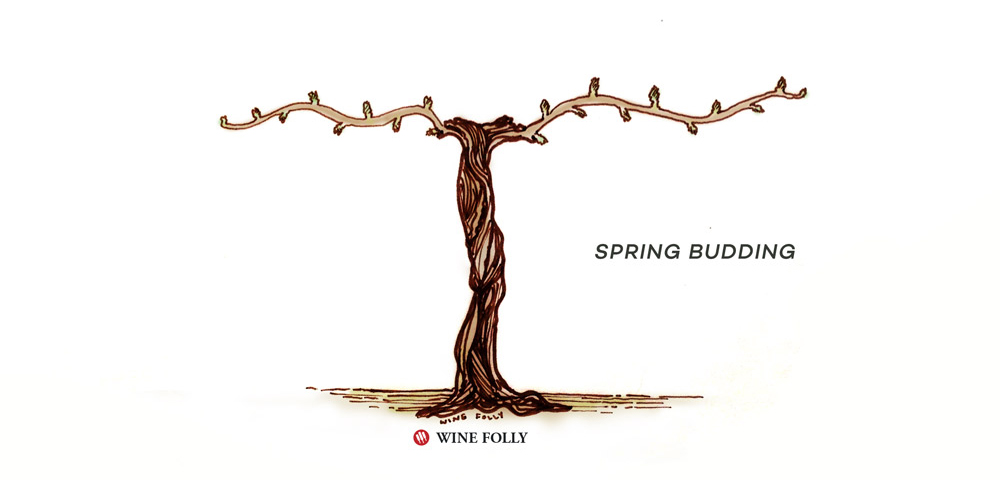 vine-lifecycle-spring-budding