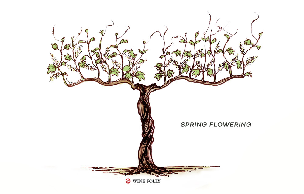 vine-lifecycle-spring-flowering