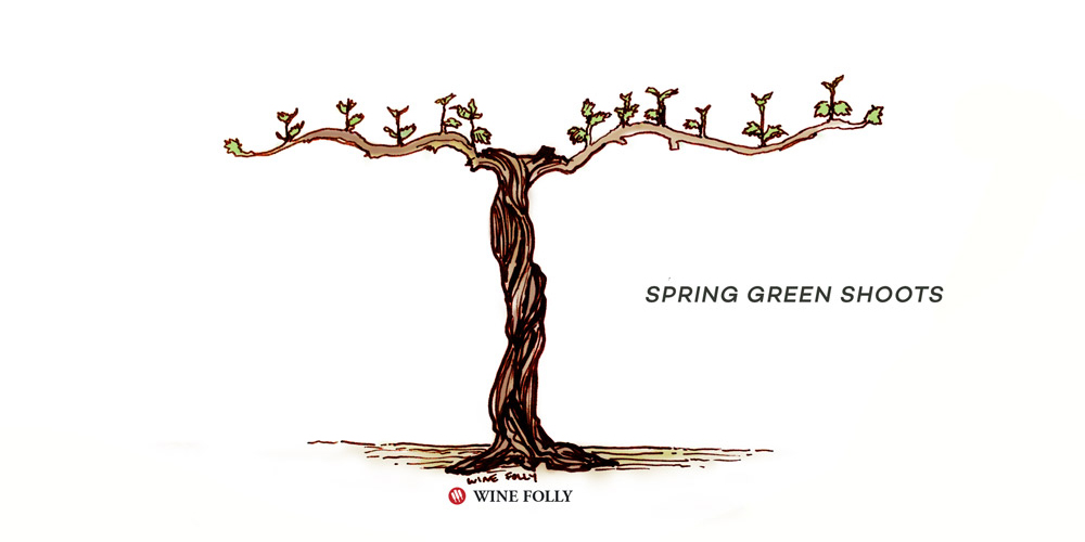 vine-lifecycle-spring-green-shoots