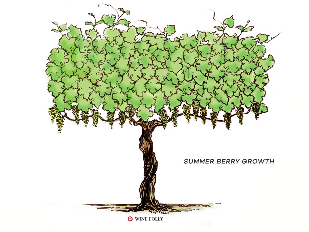 vine-lifecycle-summer-berry-growth