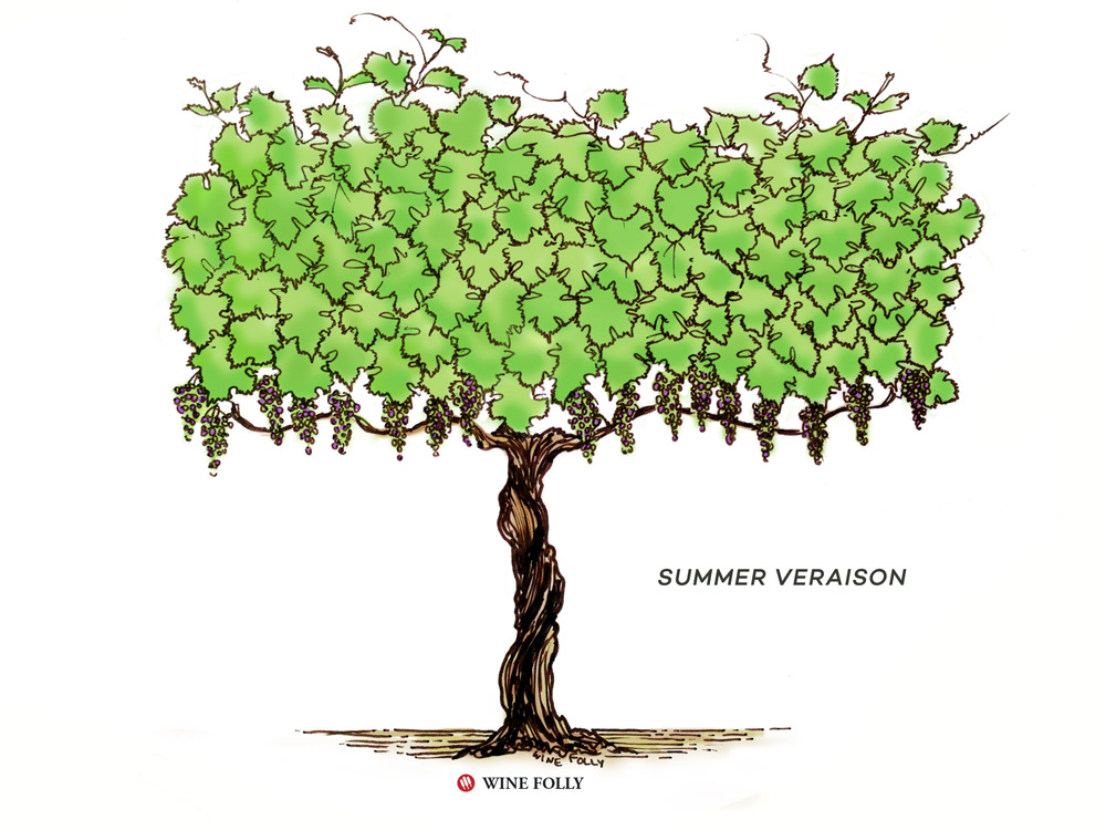 vine-lifecycle-summer-veraison