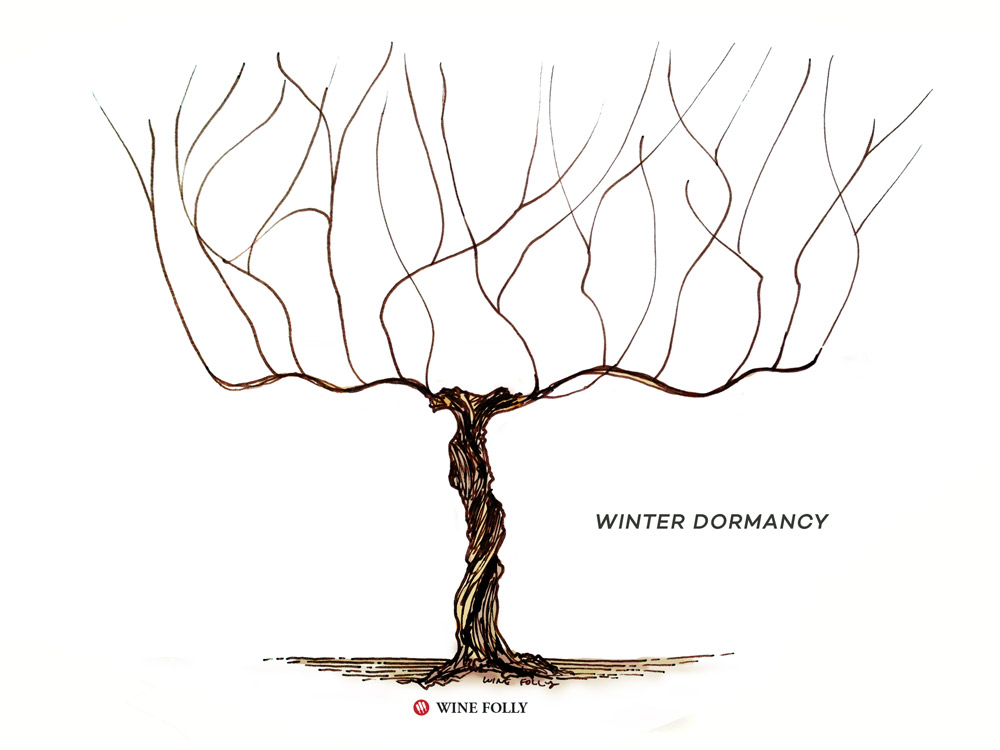 vine-lifecycle-winter-dormancy