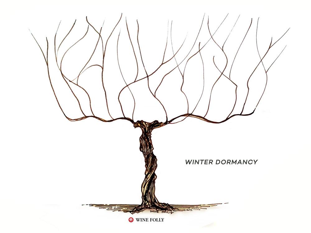 vine-lifecycle-winter-dormancy