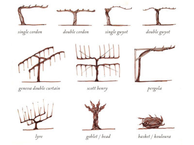 vine-training-wine-folly