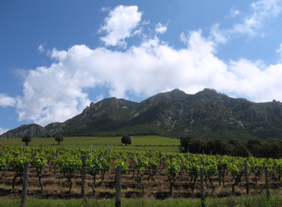 Vineyards on the mountainous island of Corsica