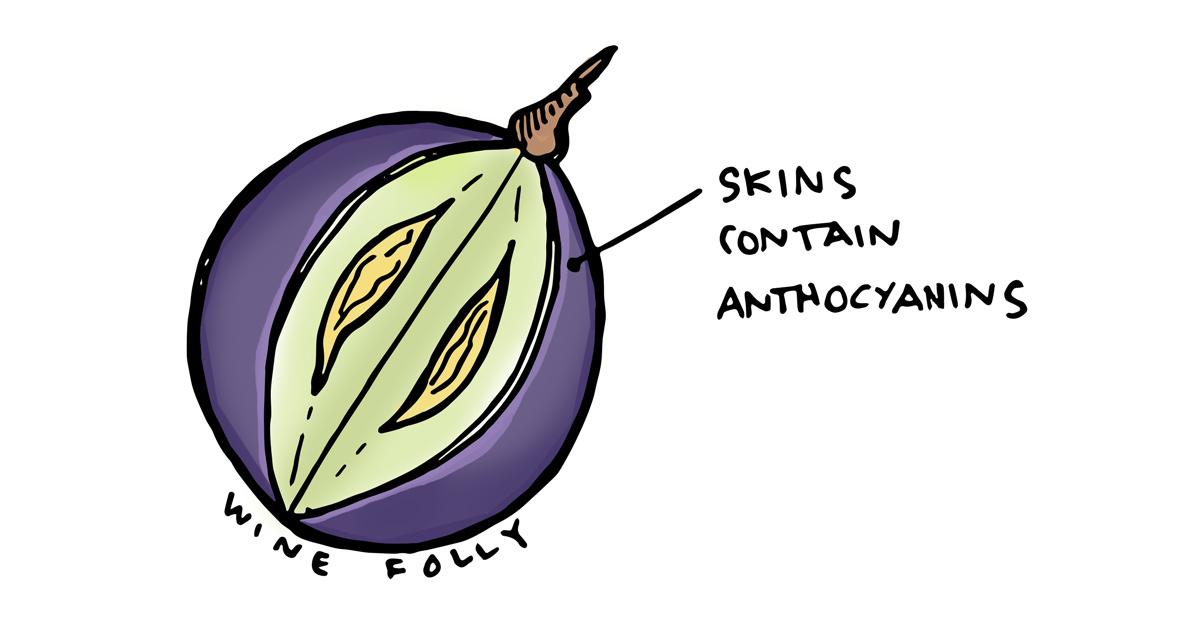 wine-grape-cutaway-illustration-winefolly