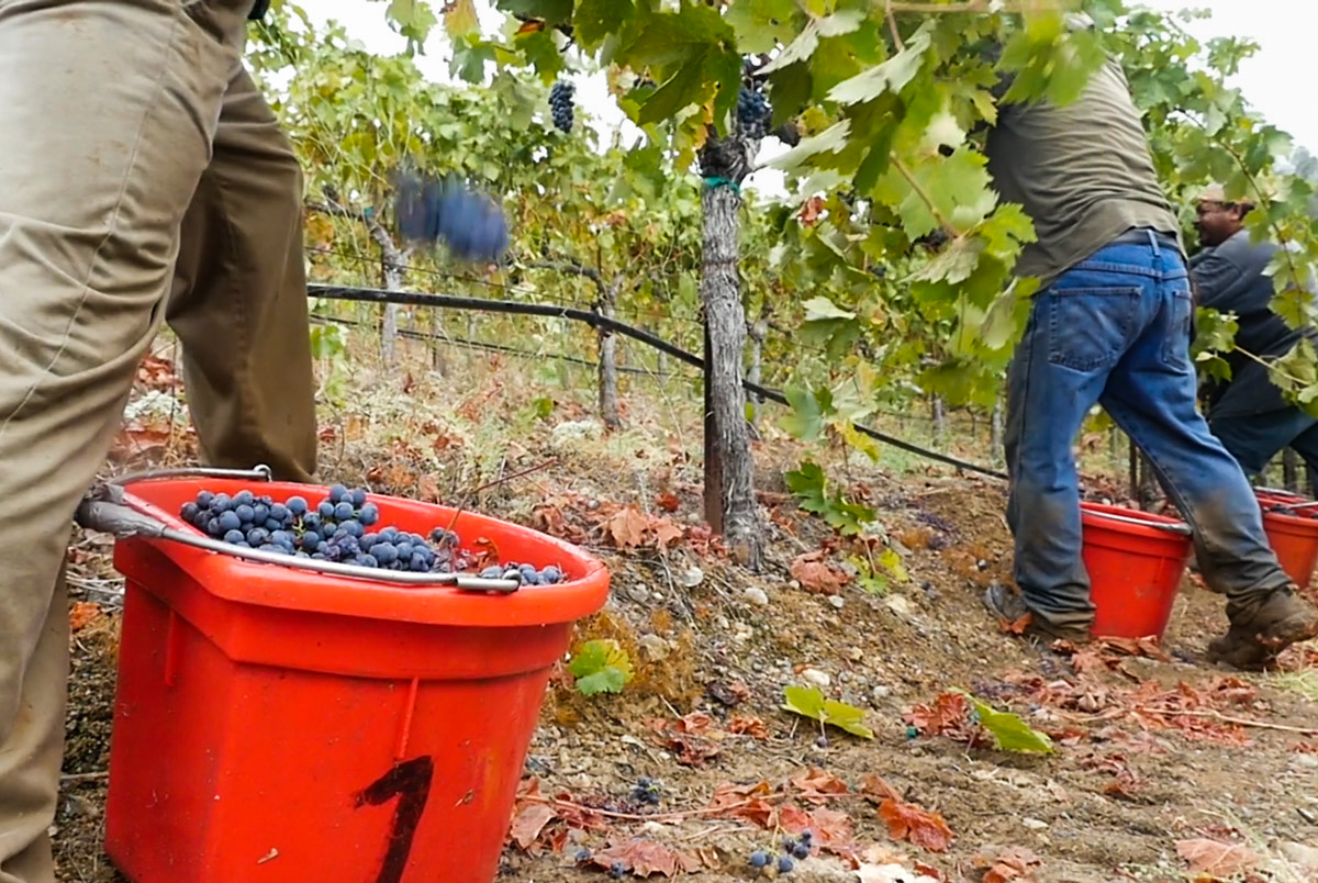 Red Wine Grape Harvest in Sonoma
