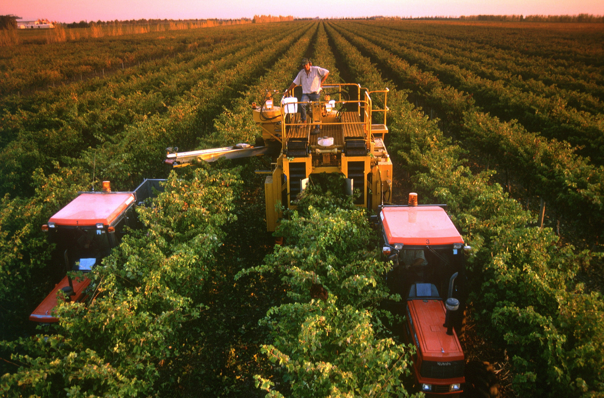 wine-grape-harvest-south-australia-coonawarra-roderick-eime
